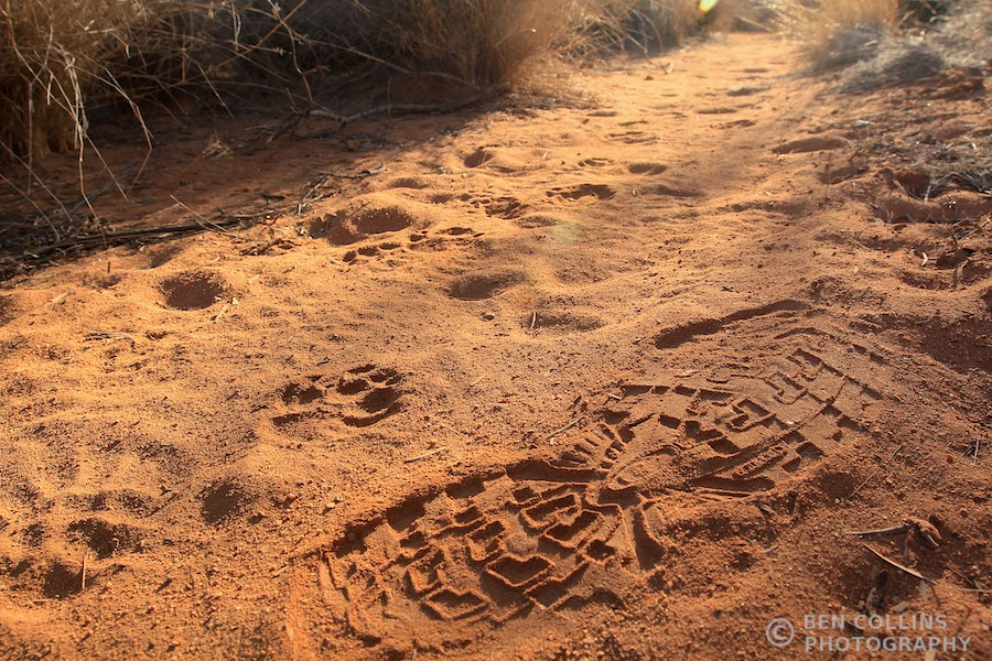 A dingo print and a footprint in the Australian Outback