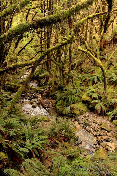 Fiordland rainforest